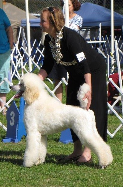 Show Dogs   Intrigue Standard Poodles